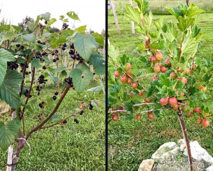 De aangeplante fruitgaard op het domein La Grande Roche werpt zijn eerste lekkere vruchten af