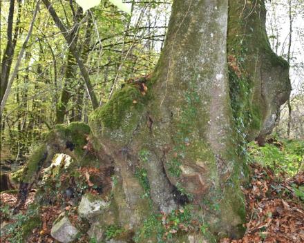 Een prachtig oude eik te bewonderen in het bos van La Grande Roche